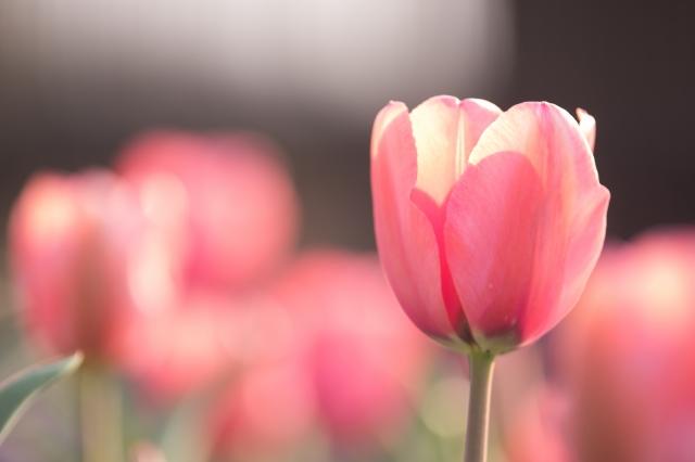 春チューリップ
