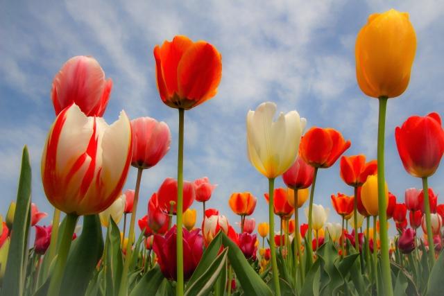 花 チューリップ2